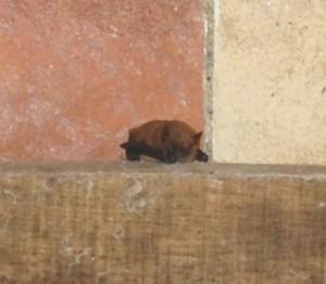 pipistrello albolimbato in toscana