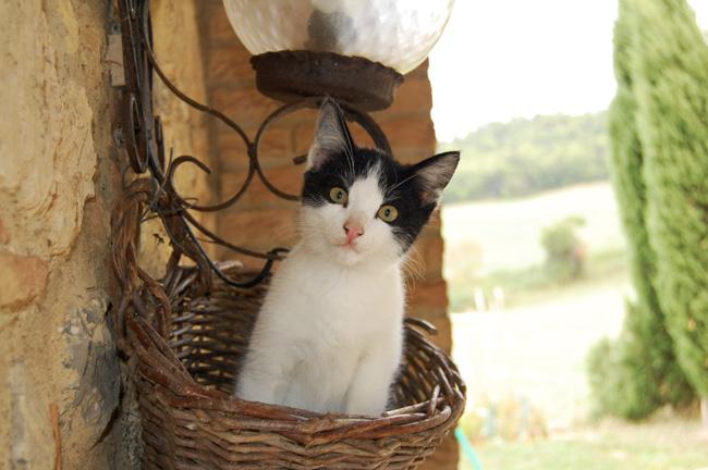 gatto bianco e nero del casale in toscana