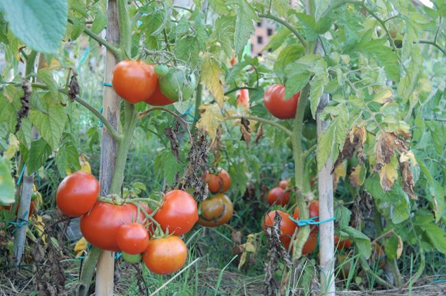 pomodori bio per la salsa