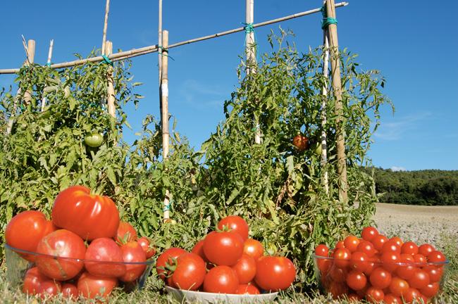 pomodori biologici toscana
