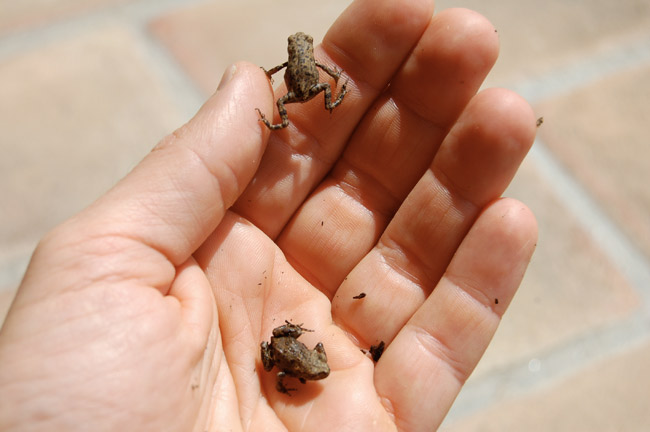 rane piccolissime