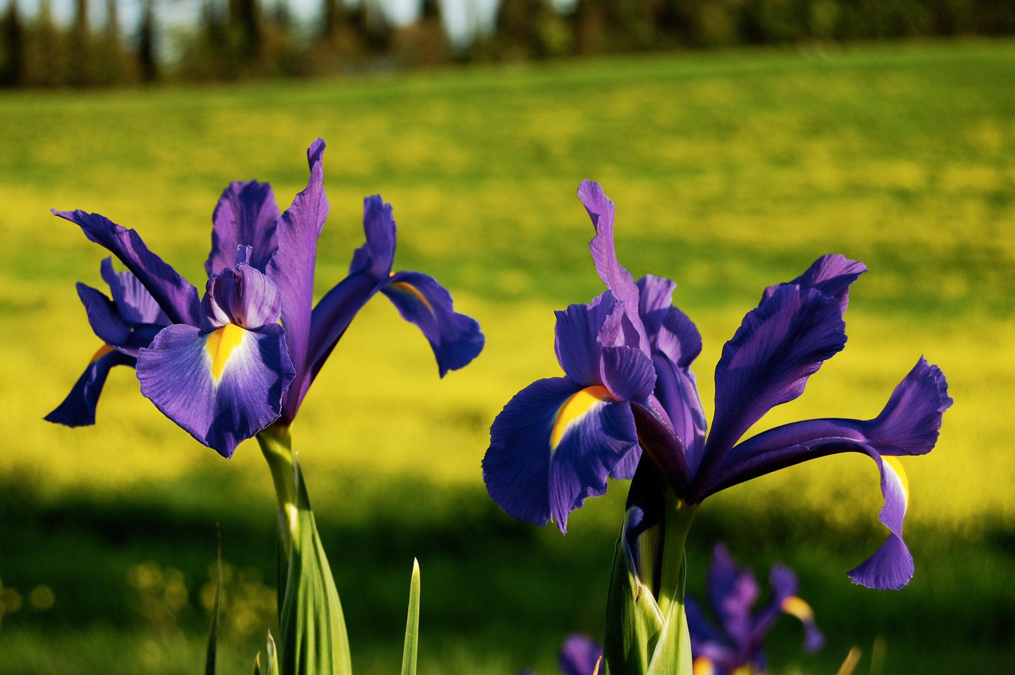 Villa in Toscana con Iris